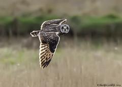 not you again (blackfox wildlife and nature imaging) Tags: nikon d300s sigma150600c shortearedowl bif wirral wildlife raptor birdsofprey owls