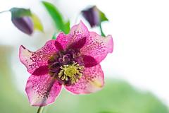 christmasrose 1749 (junjiaoyama) Tags: japan flower plant christmasrose helleborus pink winter macro bokeh
