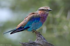 Lilac-breasted Roller (leendert3) Tags: leonmolenaar southafrica krugernationalpark wildlife nature birds lilacbreastedroller ngc