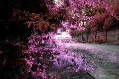 Old Factory Entrance / 2018 (Berlintuesday Photo) Tags: flowers trees bushes old abandoned path fencing colour purple pink infared effect olf factory driveway lumix lumixg2