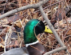 Duck in bushes.. (EcoSnake) Tags: ducks mallards wildlife waterfowl bushes winter february idahofishandgame naturecenter
