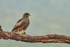 ZIM_7029 (lucvanderbiest) Tags: yellowbilledkite geelsnavelwouw scavengershide zimangaprivatereserve southafrica