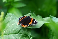 Orange black butterfly 2 (benrokh) Tags: m50 stm eosm50 canonm50 55250 55250stm is