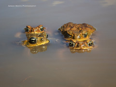 Cane Toads (ArmanWerthPhotography) Tags: canetoad canetoads toads frogs armanwerthphotography lanai invasivespecies olympus tg5 wild wildlife