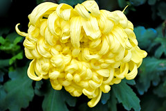 Chrysanthemum (chooyutshing) Tags: flower chrysanthemum display dahliadreams floraldisplay flowerdome gardensbythebay baysouth marinabay singapore
