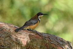 Eastern Spinebill (aj4095) Tags: eastern spinebill bird birding nature wildlife australia outdoor tree nikon