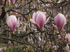 Magnolia Flowers (cycle.nut66) Tags: magnolia flowers 3 three spring march olympus epl1 evolt micro four thirds mzuiko