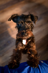 Gigi (ChristianKphoto) Tags: tamron tamron2470mm canon 6d canon6d tamron2470 schnauzer terrier mix dog pet dogs pets animals cute