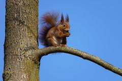 Oh wie süß (KaAuenwasser) Tags: eichhörnchen tier säugetier baum bäume wald garten park natur himmel blau wetter nuss futter süs