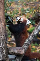 Red panda eating some bamboo (Cloudtail the Snow Leopard) Tags: ailurus animal bär bärenkatze eat eating feuerfuchs firefox fulgens goldhund katzenbär kleinbär kleiner mammal panda red roter säugetier tier zoo stadtgarten karlsruhe