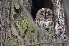 Tawny Owl - Waldkauz (rengawfalo) Tags: owl brownowl tawnyowl strixaluco eule vogel bird animal wildlife nature natur kauz vögel waldkauz tree birder birding outdoor wood forest