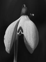 _A172956_E (☁ ▅▒░☼‿☼░▒▅ ☁) Tags: olympus omd em5mkii minolta rokkor mecsek woods forest black white blackwhite snowdrop