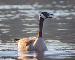 Talking in tongues? (SpyderMarley) Tags: peaceful floodedfarmfield spring march sunset brantacanadensis water tongue canadagoose waterfowl bird