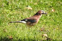 Geai des chênes (chriscrst photo66) Tags: bird animal oiseau corvidé geai jardin parc gironde photographie photography nature wildlife ornithologie ornithology nikon