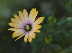 2019_03_24_Osteospermum fruticosum_Dimorphoteca (kbl phtogaphy) Tags: flors flores natura naturalesa nikon nikon5100 nikor105 nature