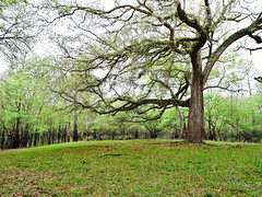 mighty oak (Hope2b) Tags: tree trees oak liveoak ottersprings florida green