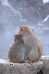 They're watching us (timtram) Tags: japan jigokudani monkey monkeys snow snowmonkeypark snowmonkeys winter yamanouchi