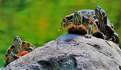 Tartarugas (Zéza Lemos) Tags: tartarugas tartaruga repteis meioaquático lago algarve água espécie oceano portugal oceanoatlântico pacífico ìndico lisboa animais