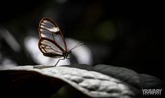 Papillon de verre / Costa Rica clearwing / greta sp. (yravaryphotoart.com) Tags: papillon butterfly clearwing verre canon 7d macro 100mm yravaryphotoart