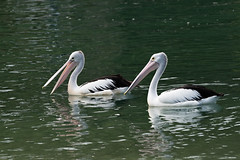 Polite Conversation (armct) Tags: pelecanusconspicillatus pelican australian conversation attention waterbird bird currumbin creek estuary tidal large patrol morning light anthropomorphism reflection