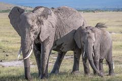 Elephant and Calf (helenehoffman) Tags: africa elephant loxodontaafricana kenya conservationstatusvulnerable africanbushelephant amboselinationalpark animal