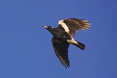 Magpie (Rodger1943) Tags: magpies australianbirds sonyrx10m4 birdsinflight faunainmotion
