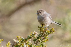 Bushtit (Psaltriparus minimus) (Frode Jacobsen) Tags: frodejacobsen california bird aves songbird passerine bushtit psaltriparusminimus