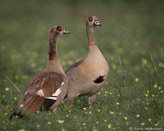 Egyptian Geese - a pair (leendert3) Tags: leonmolenaar wildlife southafrica krugernationalpark birds egyptiangoose naturethroughthelens ngc npc