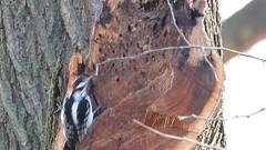 Hairy Woodpecker (Adult male) looking for food. (Smith Birding) Tags: leuconotopicusvillosus woodpecker hairywoodpecker illinois lakemichigan chicago montroseharbor videography photography wildlife nature birdvideo 1080p coolpixp1000 nikon birds bird