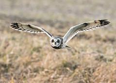 Short-eared Owl fying over a field (Thomas Muir) Tags: asioflammeus bird raptor birdwatching outdoor woodcounty bowlinggreen ohio flying hunting nikon animal 600mm