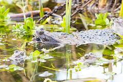 _W4A8698 Frogs (Rana temporaria) (ajmatthehiddenhouse) Tags: kent stmargaretsatcliffe garden uk 2018 frog amphibians rana temporaria ranatemporaria commonfrog amphibian