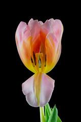 Tulipa 2 (kudi.buehlmann) Tags: sigma nikon flowers nature tulip tulpe tulipa blume schnittblume macro rosa farbig studio