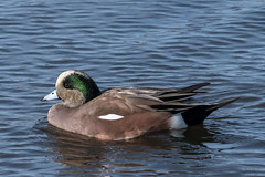 Wigeon with a Mission (MelRoseJ) Tags: arbuckle california us unitedstates nature colusanationalwildliferefuge birds americanwigeon duck