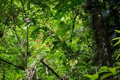 Lush forest and Sobralia (Mabelín Santos) Tags: sobralia insituorchid sobraliainsitu orchid orchidaceae orquídeas orquídeasdepanamá 蘭 anggrek 兰花 орхидея orchidee orkide orchidea orchidej magairlín 난초 hoa lan orhidee