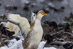 Playing in the Snow (Karen_Chappell) Tags: snow snowing snowy weather duck bird animal park bokeh pond water bowringpark canada newfoundland nfld atlanticcanada avalonpeninsula eastcoast stjohns nature outdoors wings