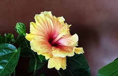 Yellow Hibiscus (M-Gang) Tags: hibiscus yellowhibiscus flower flowers smallflowers blooms blossom naturesbeauty