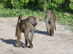 Chacma baboons (Oleg Chernyshov) Tags: chacmababoon papioursinus papioursinusgriseipes медвежийпавиан