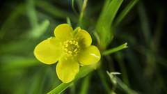 Buttercup (Steve lunn) Tags: flowers closeup macrolens