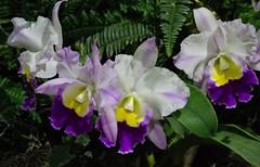 Four In A Row (ACEZandEIGHTZ) Tags: flowers orchids macro closeup tamiamiintlorchidfestival 2019 nikon d3200 plant ferns leaves cattleya