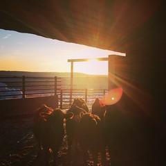 Happy sun, happy calves (jessalynn_sammons) Tags: instagram squareformat iphone brightlight light bright sun sunburst barn cattle calves morning sunrise