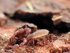 Pseudoscorpion sp. (Geminiature Nature+Landscape Photography Mallorca) Tags: macro raynox raynox250 dcr250 mallorca bugs soil bodem rottenwood schors beestjes insects insectos insekten falsescorpion bastaardschorpioenen pseudoscorpiones
