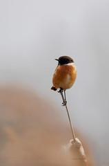 Stonechat (yvonnepay615) Tags: panasonic lumix gh4 nature bird stonechat rspb lakenheathfen suffolk eastanglia uk