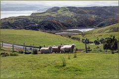 Sheep with a view (boeckli) Tags: pencarrowlodge sheep view wellington schaf schafe newzealand aussicht landscape landschaft outdoor nature natur topaz topazstudio tier tiere animal animals rx100m6 004588 sonntagstierchen
