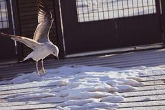 Laskeutuva Lokki (TheSaOk) Tags: lintu linnut birdlife bird birdwatch birdlover yleluonto luontokuva wildlife