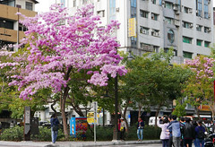 Red flowers are blooming, Crowd coming (葉 正道 Ben(busy)) Tags: rosytrumpettree 紅花風鈴木 洋紅風鈴木 花 人 樹 tree people flower 台中 台灣 taichung taiwan 風景 street 街景 城市 city 綠川 紅色 red lyuchuan
