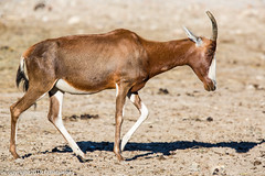 Blesbok_151109_RAS (f.chabardes) Tags: france blesbok aude réserveafricainesigean 2015 4t alcelaphinae damiliscusdorcasphillipsi narbonnais bovidae mammifères artiodactyles languedoc novembre animaux