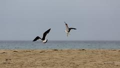 Breaking Free (Keith Midson) Tags: seagull gulls gull pacific scamander tasmania eastcoast beach water sea ocean birds bird sand sky
