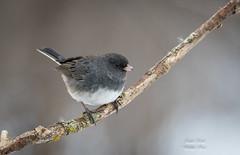 Dark-eyed Junco (Jamie Lenh Photography) Tags: nature wildlife birds junco eyed dark ontario canada jamielenh nikon tamron