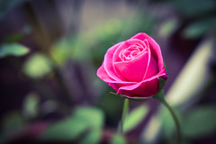 Lonely rose (Praveen Banneka) Tags: bud rise pink red green blue air atmosphere srilanka lonely culture innocent asia southasia