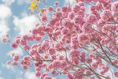 粉鈴映春│Nanke│Tainan (Nick_Ning_Huang) Tags: taiwan tainan nanke sky blue flower beauty beautiflul nature cloud comfort sony ilce7rm3 a7r3 fe85mmf18